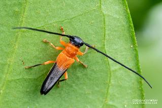 Longhorn beetle (Nupserha fricator) - DSC_9665