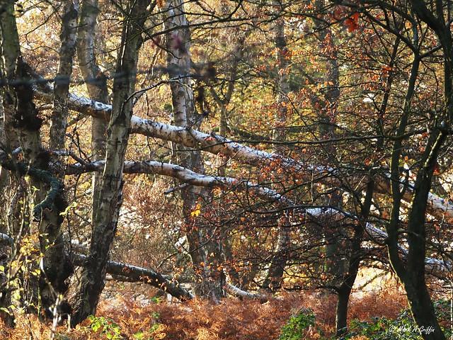 Two fallen birches