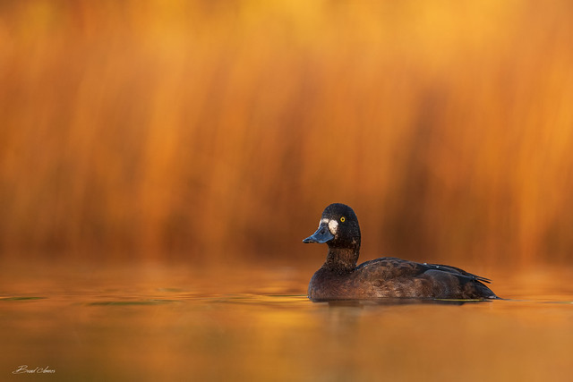 female Greater Scaup...