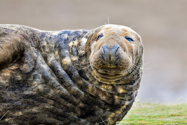 Grey Seal - Adult Male
