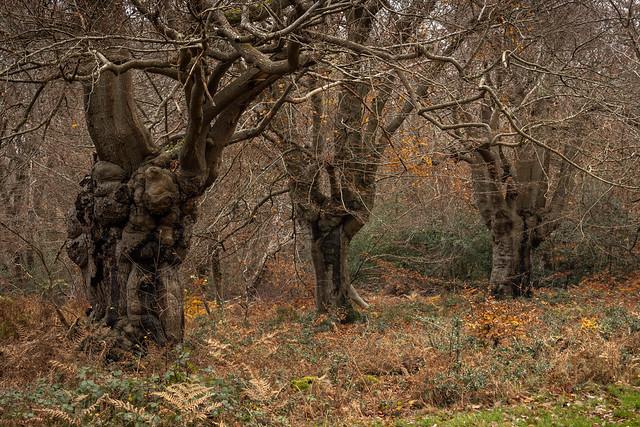 Burnham Beeches - Buckinghamshire - UK