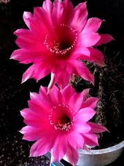 Echinopsis Hibrido