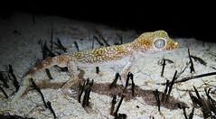 Sternodactylus leptocosymbotus