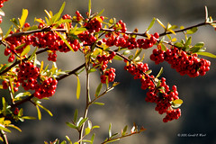 red berries 4309