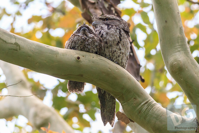 Tawny Frogmouth Father and Chick
