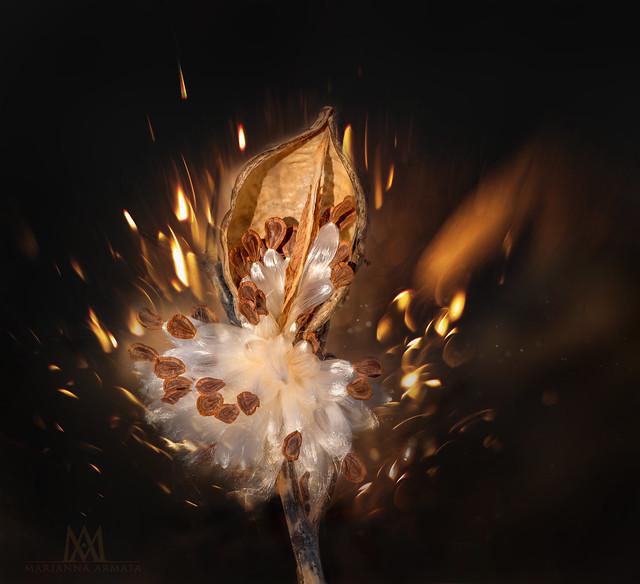 fiery milkweed