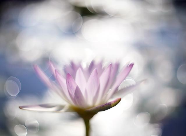 蓮華 / Waterlily Bokeh
