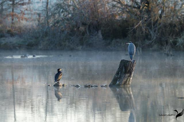 Grand Cormoran Phalacrocorax carbo - Great Cormorant Héron cendré Ardea cinerea - Grey Heron  9062_DxO
