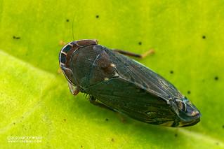 Leafhopper (Deltocephalinae) - DSC_9878
