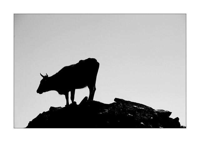 Vache alpiniste II / Péloponèse - Grèce