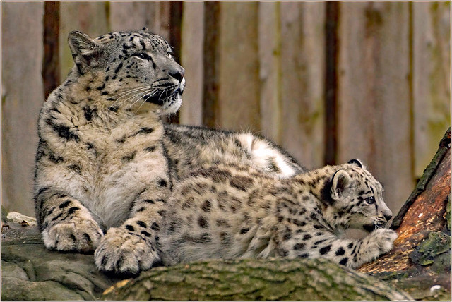 Whelp snow leopard with proud mother
