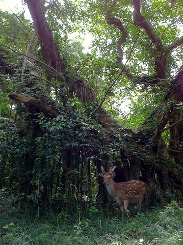 Tue, 05/08/2012 - 13:53 - Sika deer