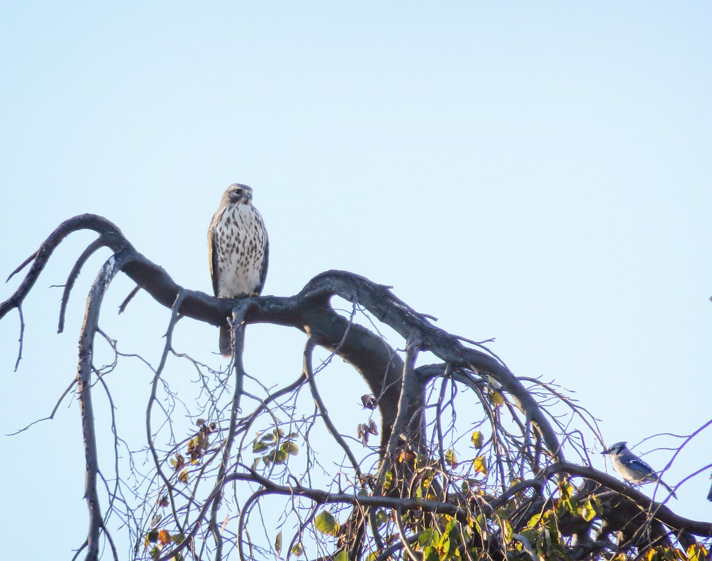 Red-shouldered hawk with blue jay