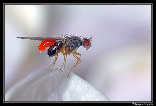 Platytrombidium fasciatum sur Scaptomyza sp.