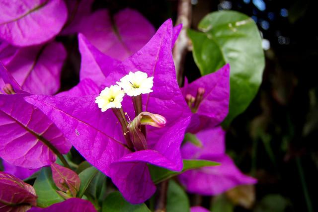 Fleur de bougainvillier !