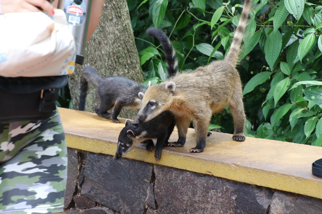 South American Coatis
