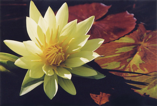 Yellow waterlily in a pond in the Kyoto Botanical Garden in Japan