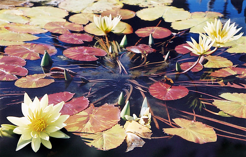 Waterlily pond in the Kyoto Botanical Garden in Japan