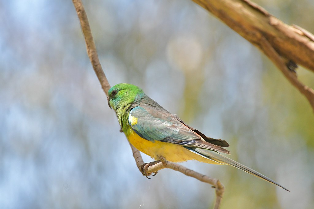 Red-rumped Parrot ( watching and not moving )