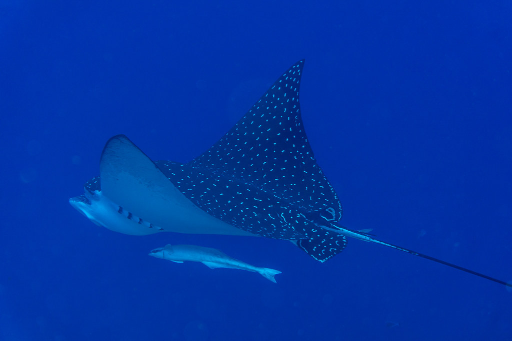 Spotted Eagle Ray II