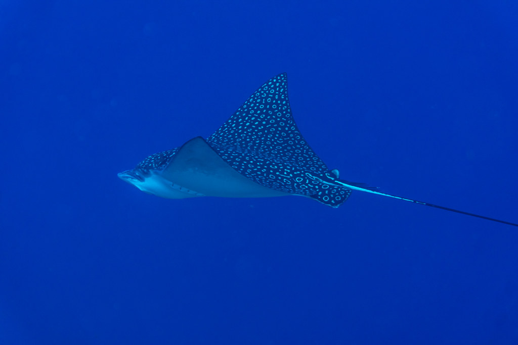 Spotted Eagle Ray I