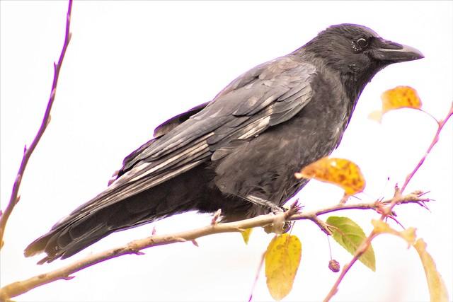 Carrion Crow, Holland.