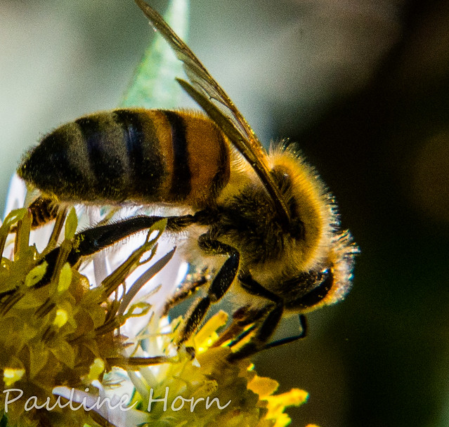 A European Honeybee (Apis mellifera), not my favorite, but I loved the backlighting.