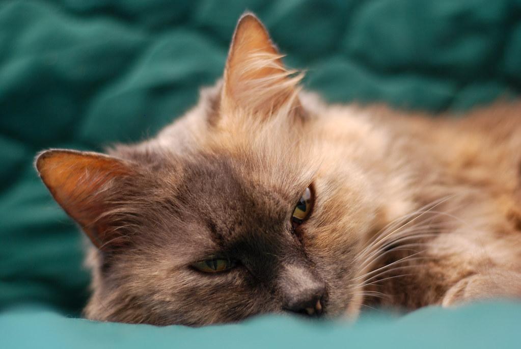 Sleepy Cat on a Green Blanket
