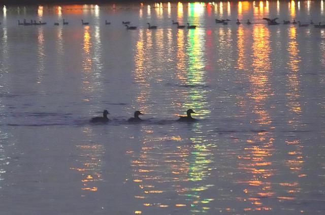Des canards, des reflets lumineux sur l'eau du Richelieu. Québec.