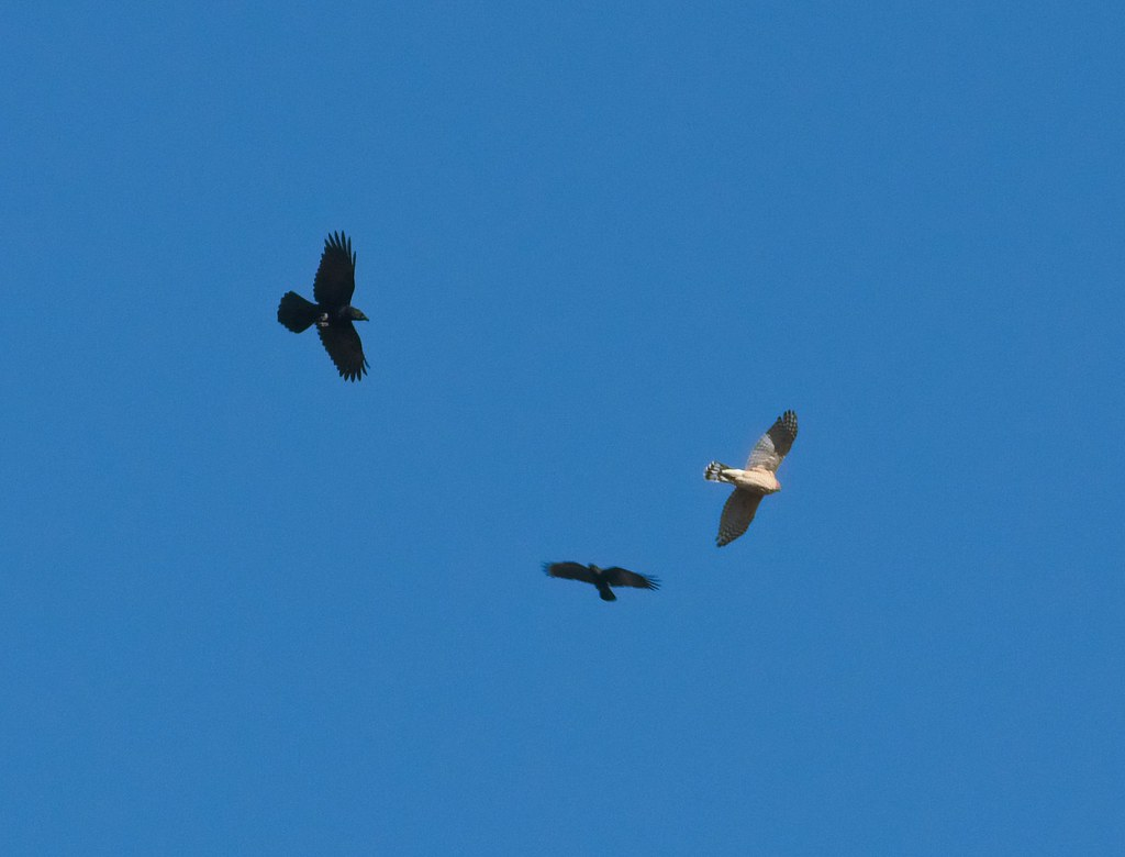 Cooper's hawk mobbed by crows