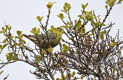 Madagascar Green-Pigeon