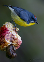 Crimson Breasted Flowerpecker