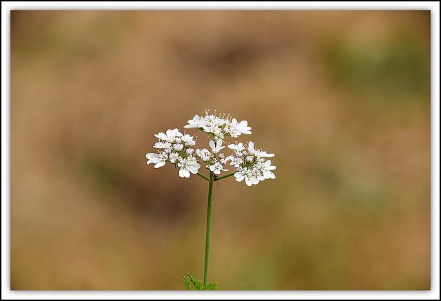 Flower Of The Day - Bishop's Flower (Ammi Majus)