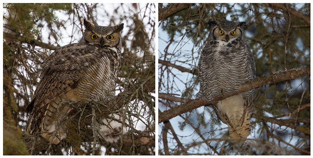 Two Great Horned Owls (Bubo virginianus)