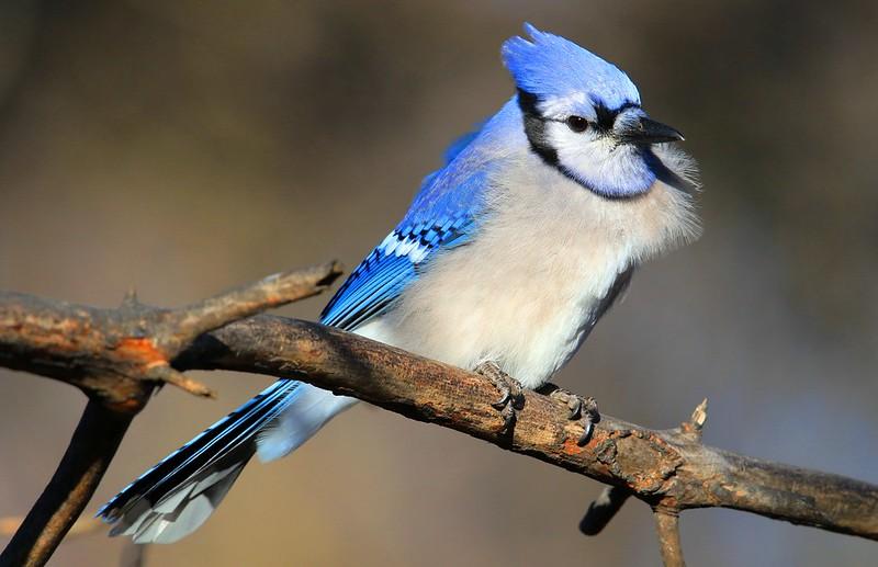 blue jay at Lake Meyer Park IA 653A7469