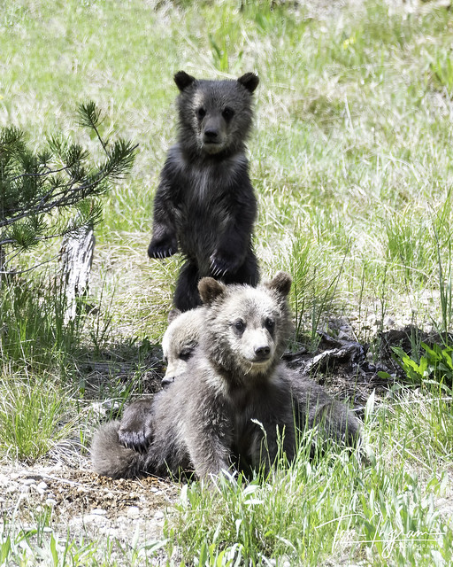 399 Grizzly Cubs playing this past spring
