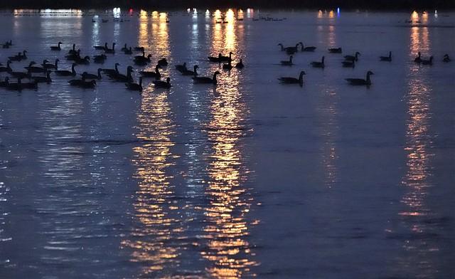 Une vue des oiseaux en arrêt pour la nuit sur la rivière Richelieu au Québec. Canadian geese.