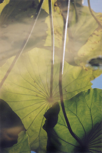 Lotus leaves reflecting in a pond at the Kyoto Botanical Garden in Japan