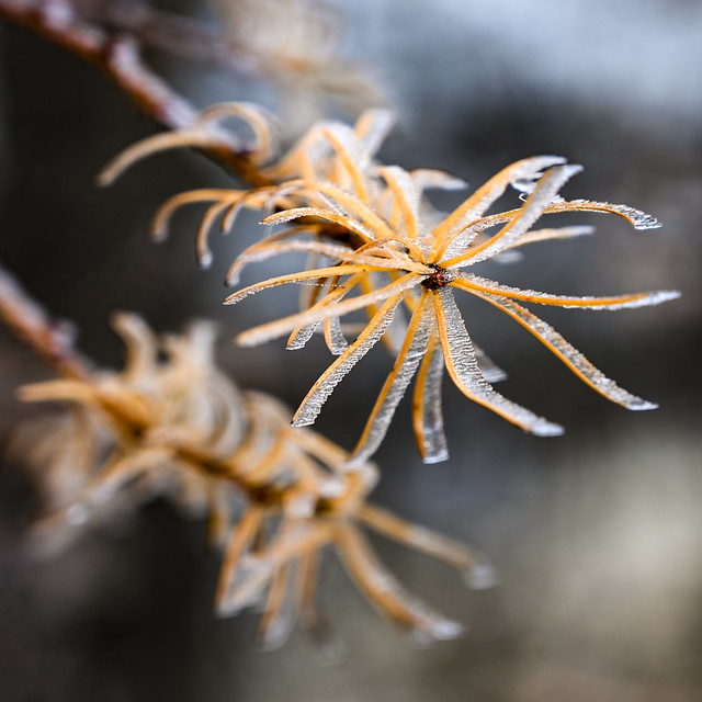 Larch leaves frozen in frost