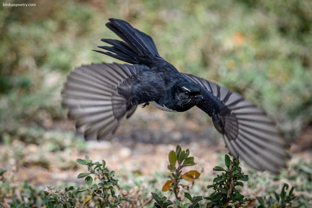 Willie Wagtail: Fanned Out
