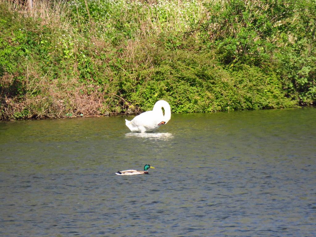 Swan and  Drake / Schwan und Ente