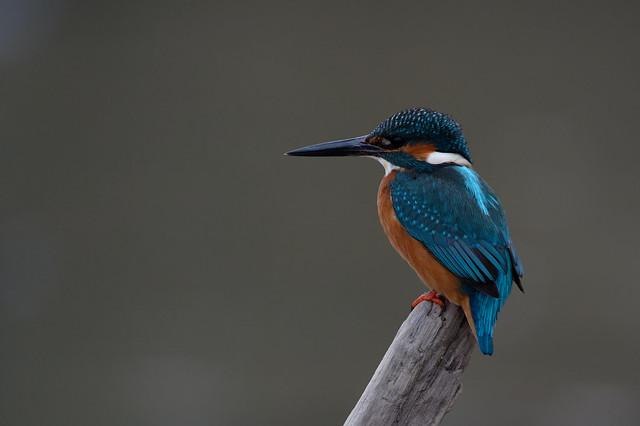 Alcedo atthis - Martin-pêcheur d'Europe - Common Kingfisher