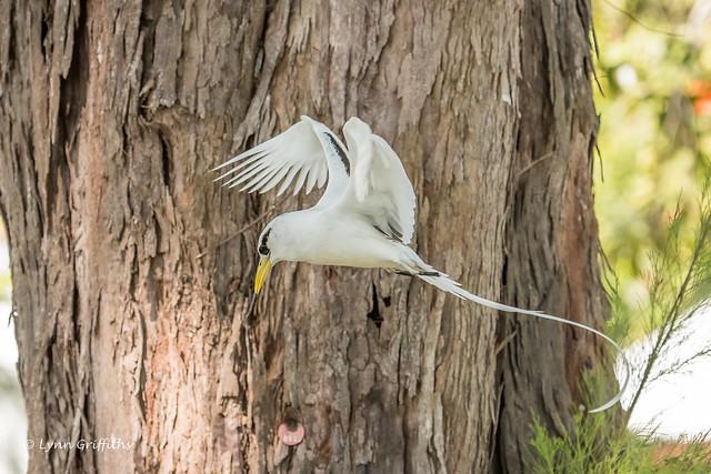 White-tailed Tropicbird 501_9068.jpg