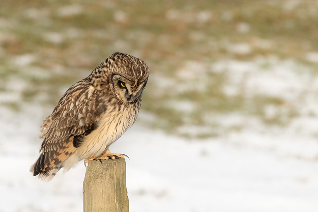 Short eared owl hunting from post