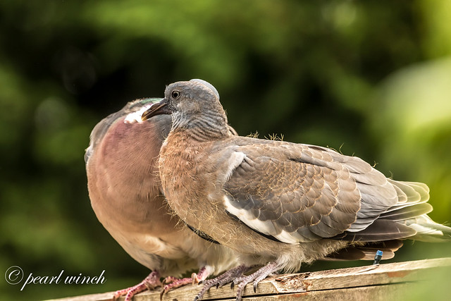 Mother and young pigeon