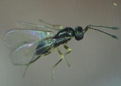 Gonatocerus pictus