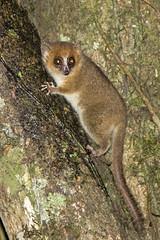IMG_93132019_09_15 Rufous Mouse Lemur, Madagascar EOS 7D Mark II