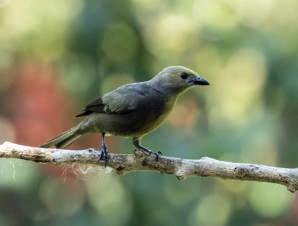 015A4450 Palm Tanager