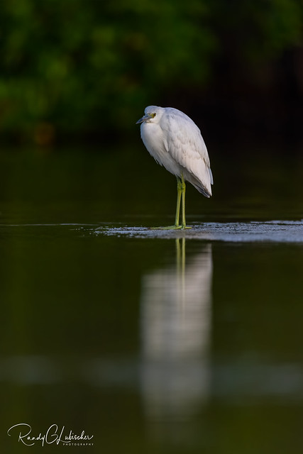 Little Blue Heron | Egretta caerule | 2020 - 3