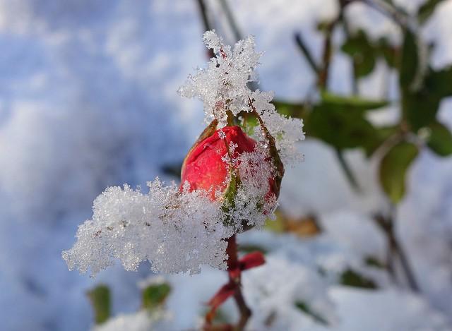 snowy beauty